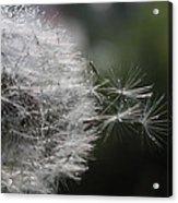 Dew On Dandelion Acrylic Print