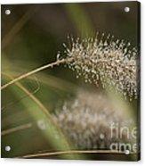 Dew On Ornamental Grass No. 1 Acrylic Print