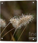 Dew On Ornamental Grass No. 2 Acrylic Print