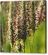 Dew On The Grass Acrylic Print