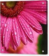 Dewdrop Daisy Acrylic Print
