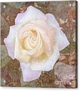 Dewy Dawn Peace Rose Acrylic Print