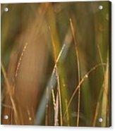 Dewy Grasses Acrylic Print
