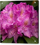 Dewy Rhododendron Acrylic Print