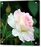 Dewy Rose Acrylic Print