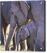 Dhikala Elephants Acrylic Print