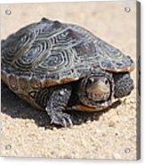 Diamondback Terrapin Turtle Acrylic Print by Diane Rada
