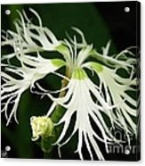 Dianthus Superbus - White Acrylic Print