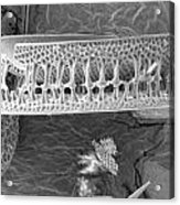 Diatom Acrylic Print