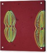 Diatom - Navicula Acrylic Print