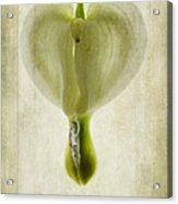 Dicentra Spectabilis Alba Acrylic Print