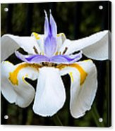 Dietes Grandiflora Full Acrylic Print