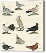 Different Kinds Of Pigeons Acrylic Print