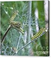 Dillweed And Caterpillars Acrylic Print