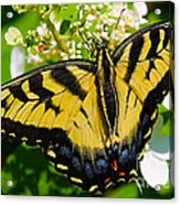 Dinner For The Swallowtail Acrylic Print