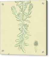 Diotis Maritima Sea-side Cotton-weed Acrylic Print