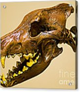 Dire Wolf Skull Fossil Acrylic Print
