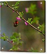 Distant Hummingbird Acrylic Print