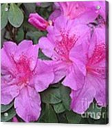 Divine Lilac Azalea Acrylic Print by Halyna  Yarova