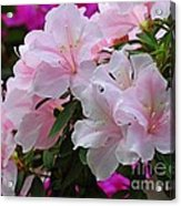 Divine Pink Azalea Acrylic Print