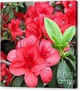 Divine Scarlet Azalea Acrylic Print