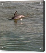 Diving Dolphin Acrylic Print