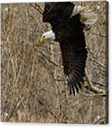 Diving Eagle Acrylic Print