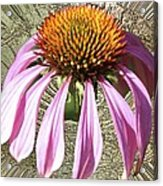 Divinity Gold - Echinacea Acrylic Print