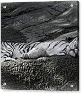 Do Not Disturb Acrylic Print by Joan Carroll