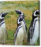 Do You Smell That - Penguins Acrylic Print