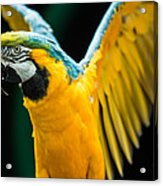Do Your Exercise Daily Blue And Yellow Macaw Acrylic Print