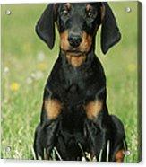 Doberman Pinscher Puppy Acrylic Print