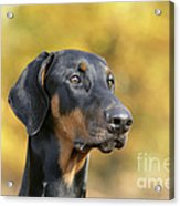 Dobermann Dog, In Autumn Acrylic Print