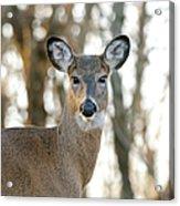 Doe A Deer A Female Deer Acrylic Print
