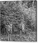 Doe A Deer Bw Acrylic Print