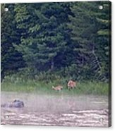 Doe And Fawn In The Early Morning Acrylic Print