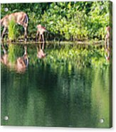 Doe And Fawns At The Pond Acrylic Print
