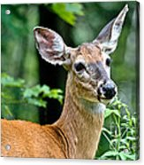 Doe Close Acrylic Print