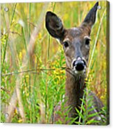 Doe In Morning Dew Acrylic Print