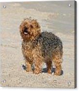 Dog 138 Acrylic Print