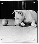 Dog And Ball Acrylic Print