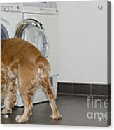 Dog And Washing Machine Acrylic Print
