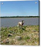 Dog At The Lake Acrylic Print