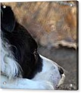 Dog Days Acrylic Print