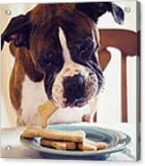 Dog Eating Biscuits At Table Acrylic Print
