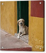 Dog In Colorful Mexican City Acrylic Print