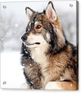 Dog In The Snow Acrylic Print