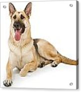 Dog Isolated On White Acrylic Print by Susan Schmitz