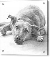 Dog Lazing Pencil Portrait Acrylic Print