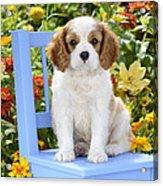 Dog On Blue Chair Acrylic Print by Greg Cuddiford